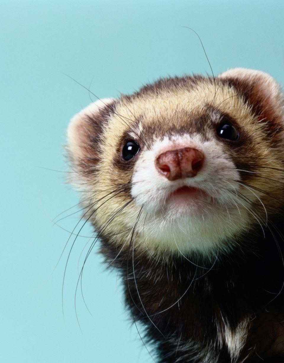 Ferret head looking at camera