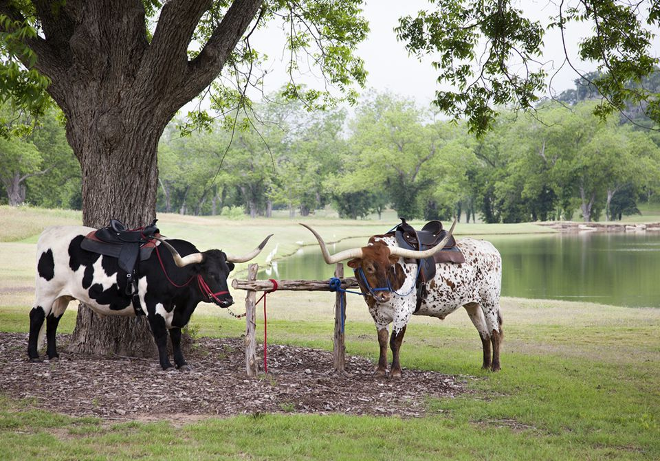Hyatt Regency Lost Pines longhorns
