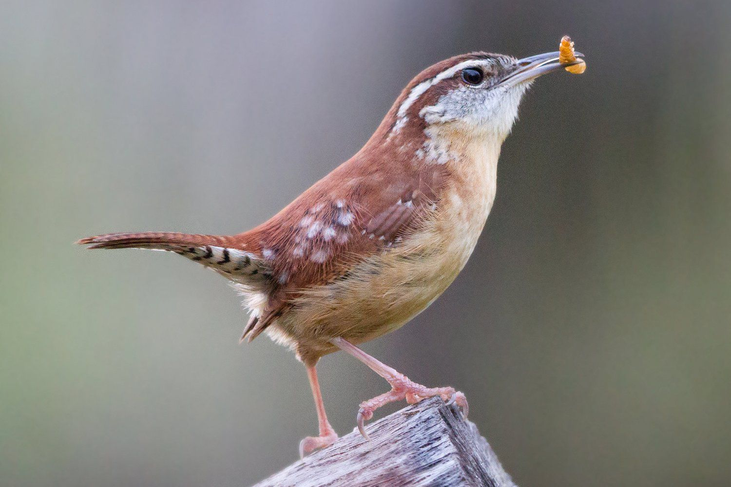 how to attract wrens to the yard
