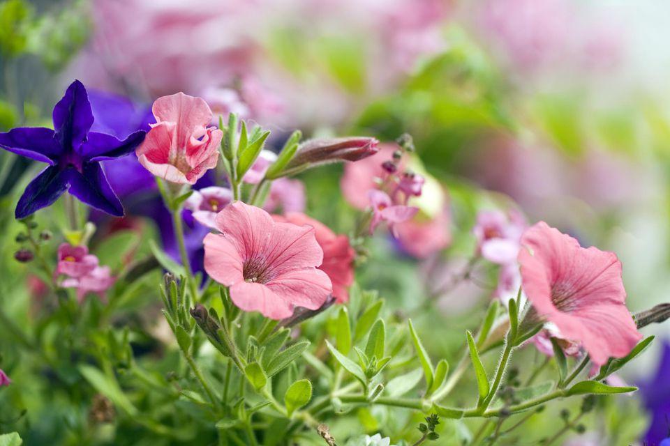Pink and Purple Petunias (Petunia) 'Surfinia Series'