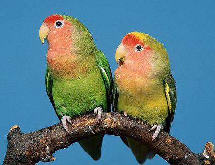 Fischer's lovebird - Wikipedia