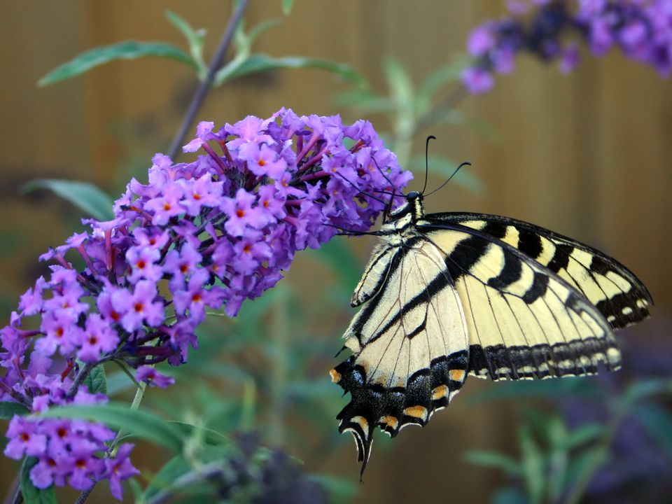 Yellow and black butterfly on a purple butterfly bush
