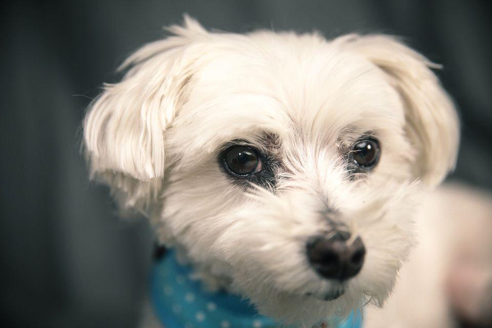 Close-Up Portrait Of A Maltese Dog