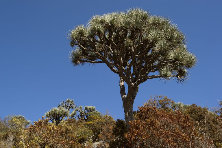 Dragon blood tree (Draceana ombet) on Daallo escarpment.