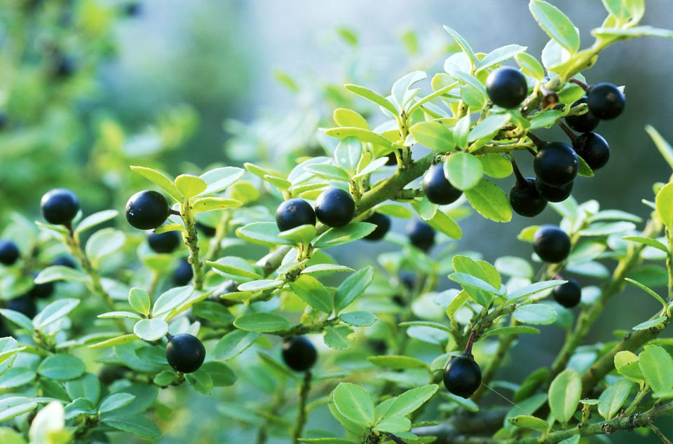 The Best Shrubs And Trees To Make Hedges