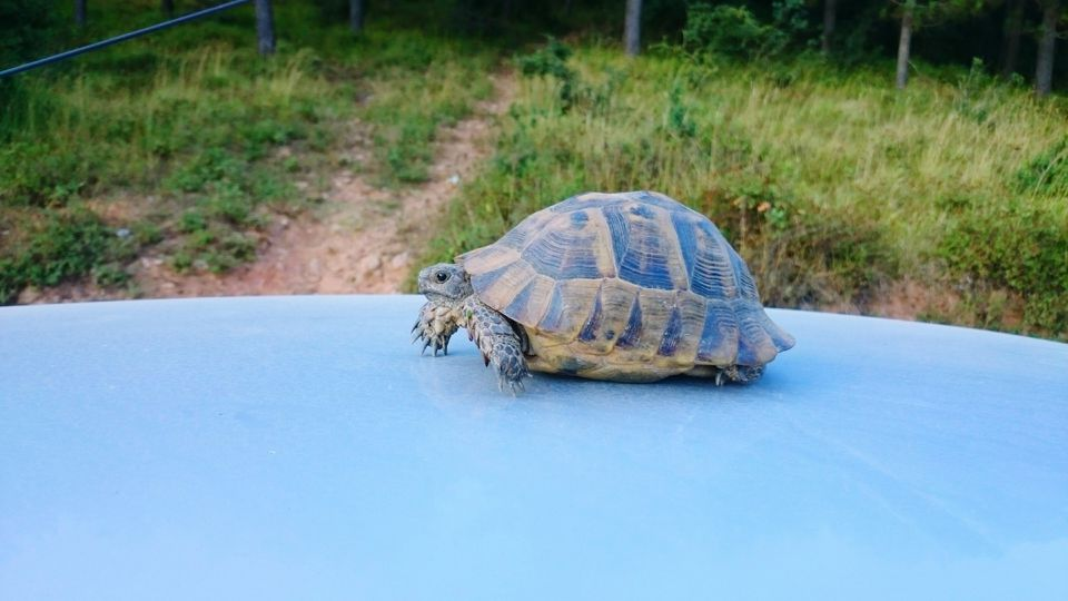 Turtle On Blue Car