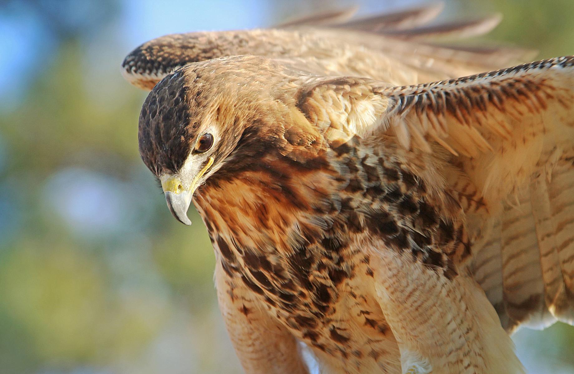 Animal totems bird totem photo gallery buycottarizona
