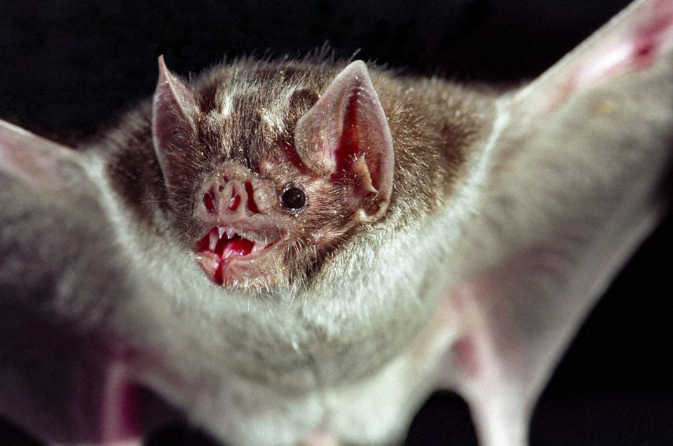 Vampire bats continue to spread rabies in Peru