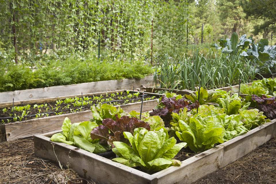 Mixed lettuce (Lactuca sativa) in raised bed