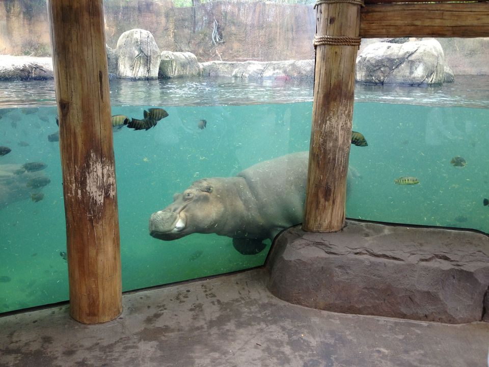 Hippopotamus at the zoo
