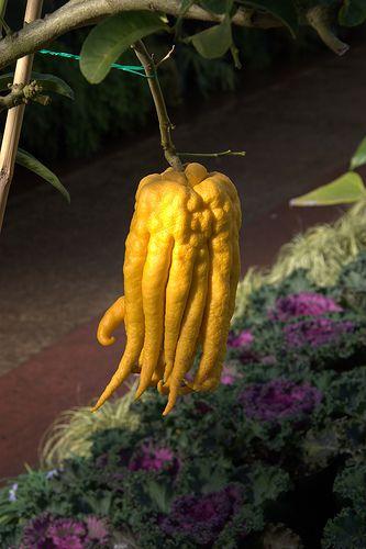 Buddha's Hand citron - citrus