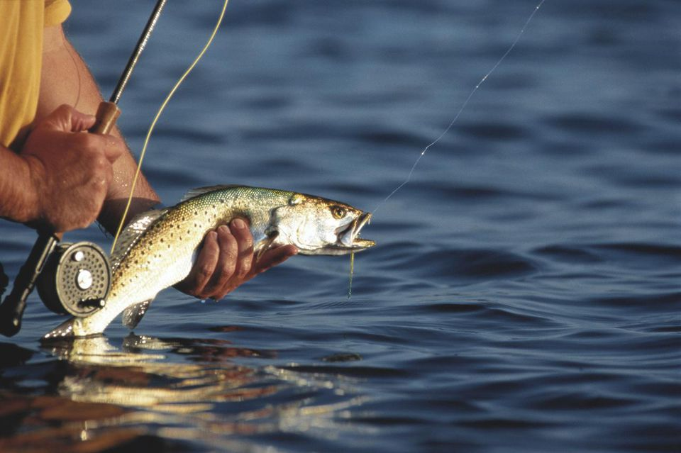Fly-fisherman standing in river, holding speckled trout