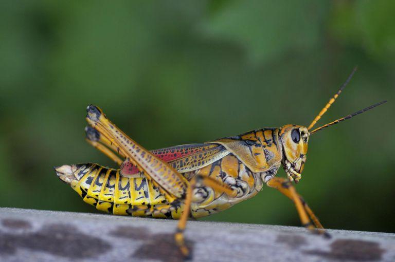 Eastern lubber grasshopper (Romalea guttata)
