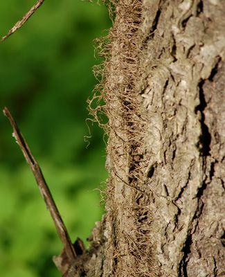 Have you wondered what those hairy vines are climbing up trees?