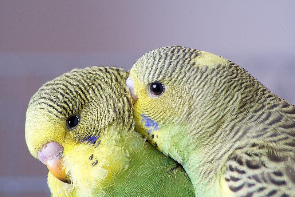 Budgies or parakeets