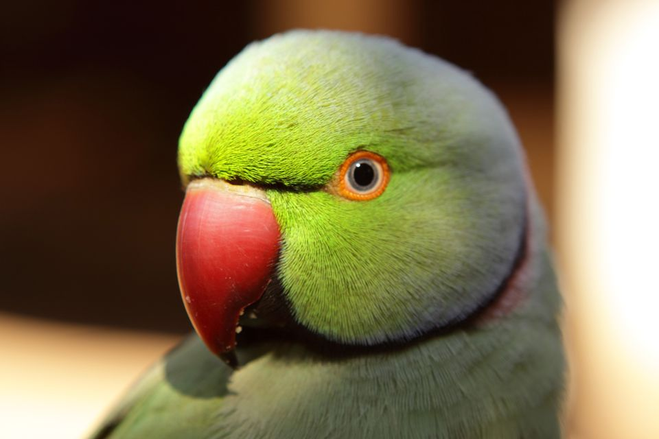 indian parrot bird information Find indian ringneck parrot for sale ads in our birds category buy and sell almost anything on gumtree classifieds.