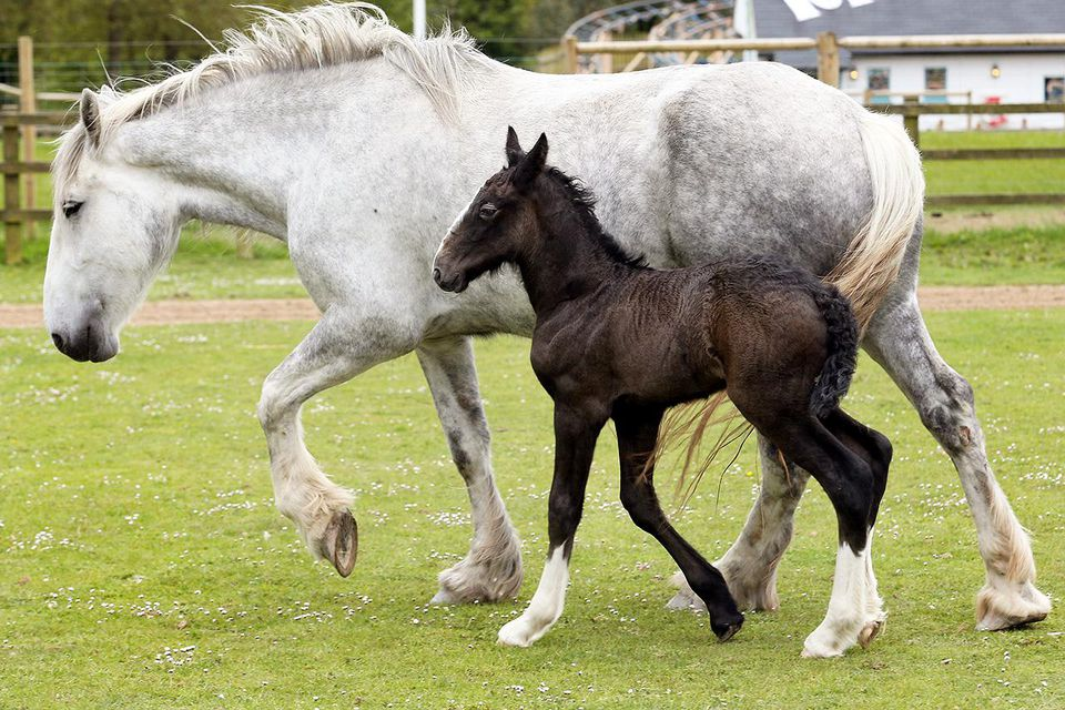 WADEBRIDGE, ENGLAND - MAY 24: A week old shire horse foal walks with her mother Orla at Cornwall's Crealy Adventure Park on May 24, 2013 near Wadebridge, England.