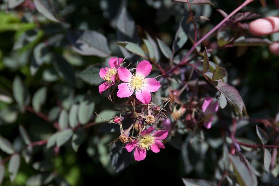The redleaf rose is a species rose.