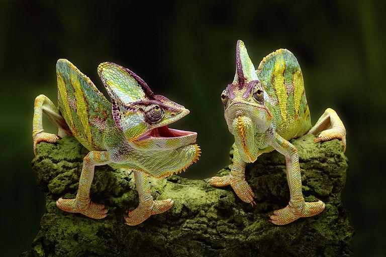 Two veiled chameleons - Chamaeleo calyptratus