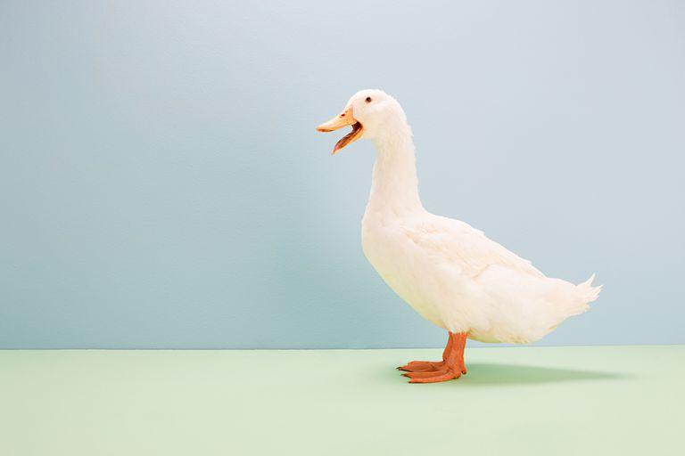 Duck calling, studio shot