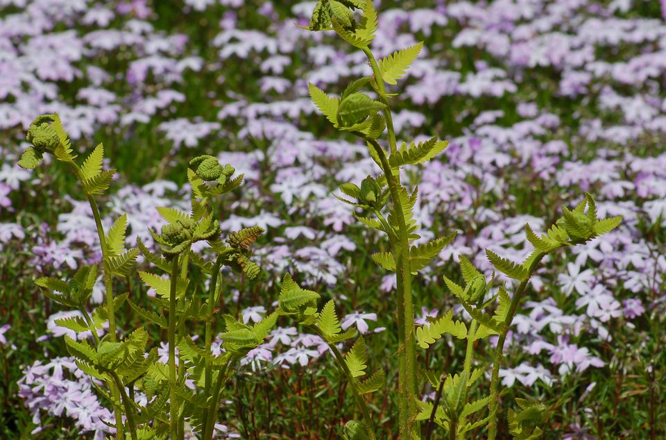 Interrupted fern looking great against a backdrop of creeping phlox.