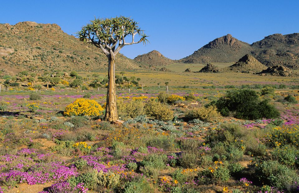 Quiver Tree amidst flowers and hills, Goegap Nature Reserve, Springbok District, Namaqualand, Northern Cape Province, South Africa.