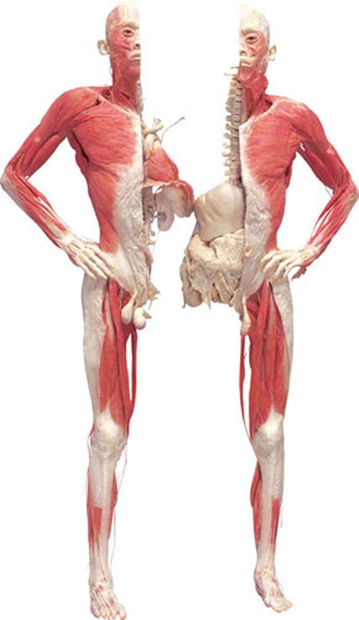 Niedlich Anatomie Museum London Ideen - Anatomie Ideen - finotti.info