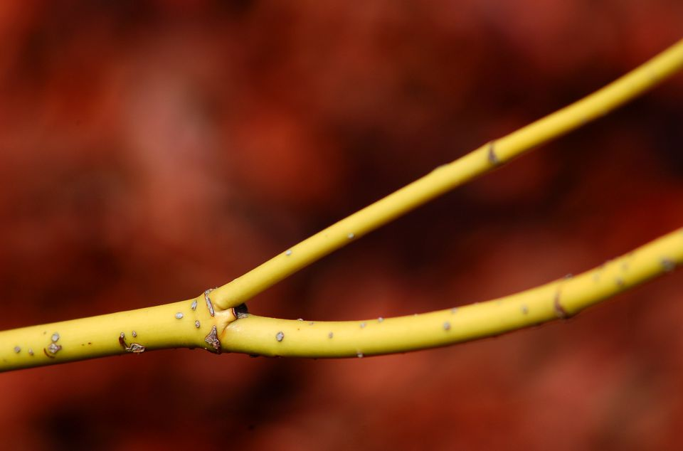 Yellow twig dogwood bush is grown for its golden bark