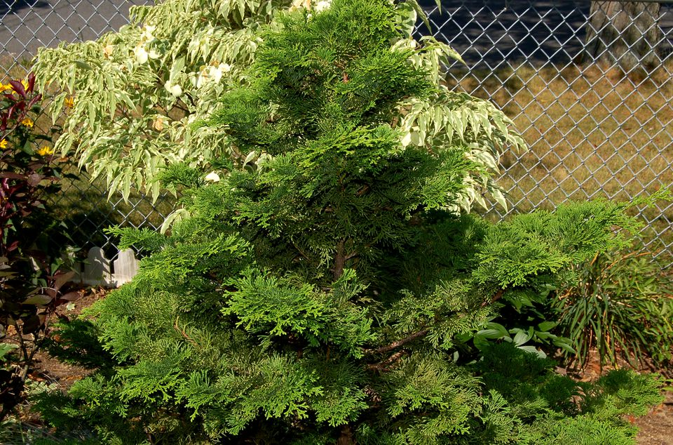 Picture of a Hinoki cypress.