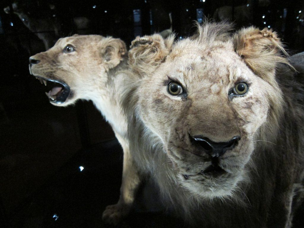 learn about 10 recently extinct tigers and lions
