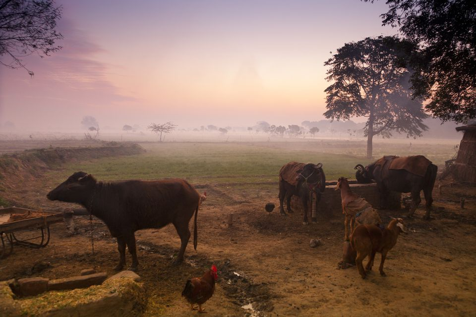 Farm animals at dawn, India