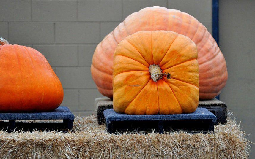 How To Shape And Grow Square Pumpkins