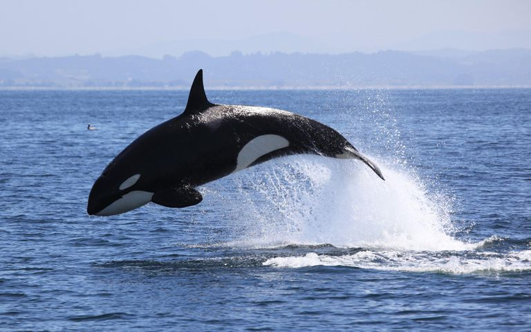 Killer Whale in Monterey Bay