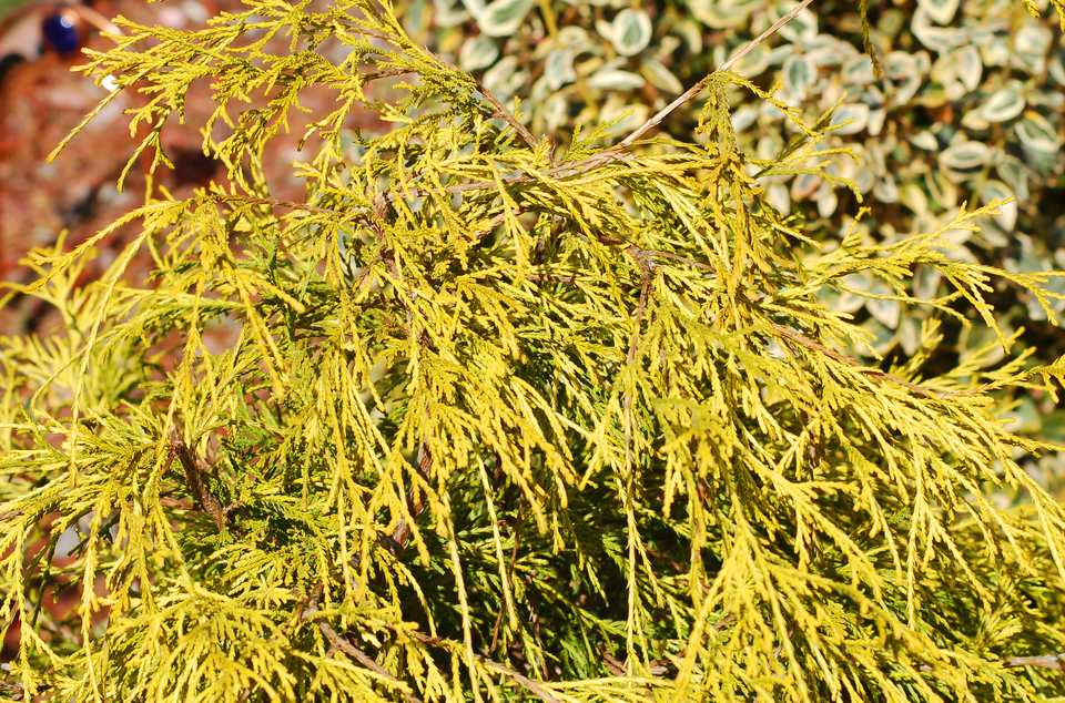 King's Gold (image) has golden foliage. It is a taller version of Gold Mops.